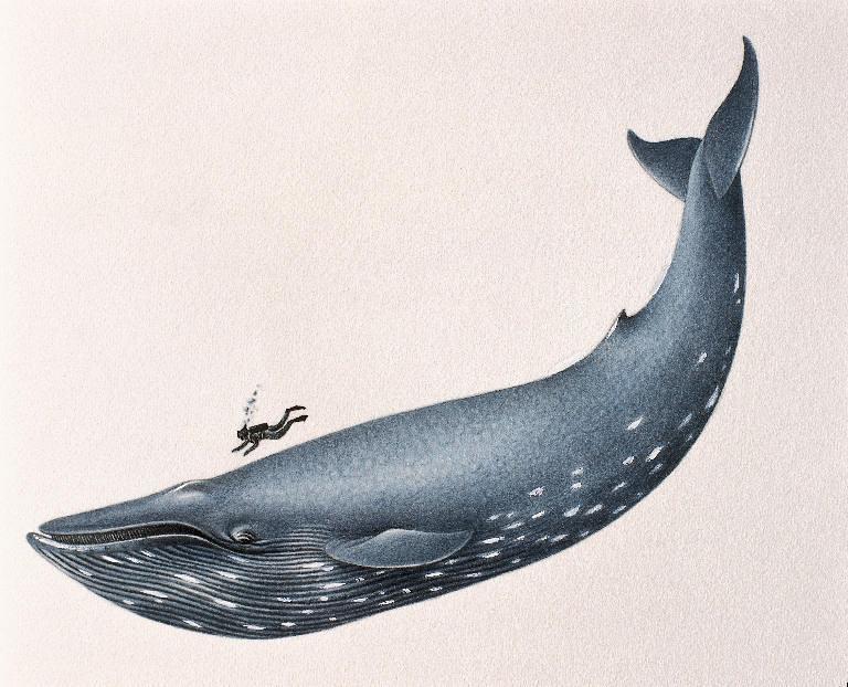 Blue Whale size | Credit: brianlean.wordpress | flickker photos | Flickr