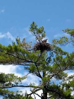 Osprey nest | by Plutor
