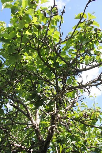 Dead Pear Branches | by joeysplanting