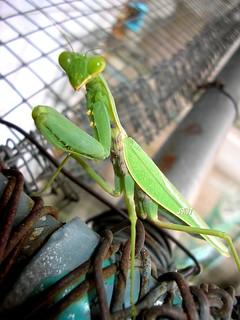 ตั๊กแตนตำข้าว green mantis   by RataJIT