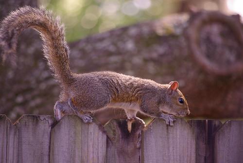 fence tampa squirrel florida urbanlandscape