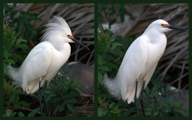 snowy egret  transformation