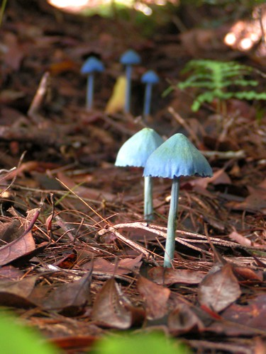 Several Blue Mushrooms | by Gilmore Photos