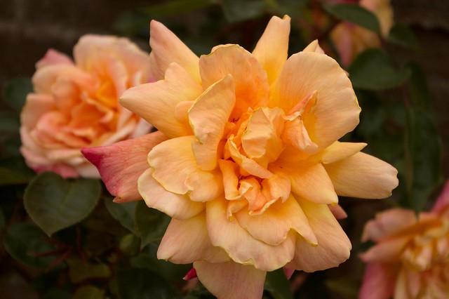 imgp8974 - Peach Rose