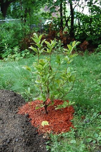 Baby Magnolia Tree Wyrding Studios Flickr