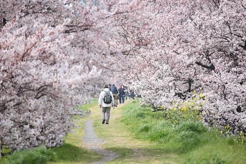 Sakura Namiki   by mrhayata