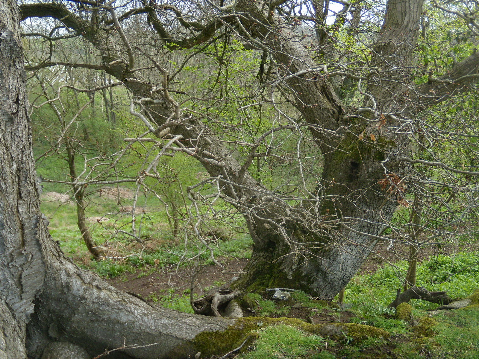Tree Billingshurst to Amberley