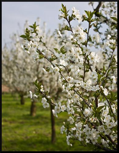 Kirschblüte in Witzenhausen   by floovo
