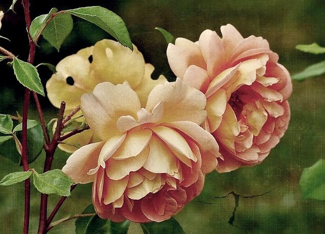 Pat Austin roses