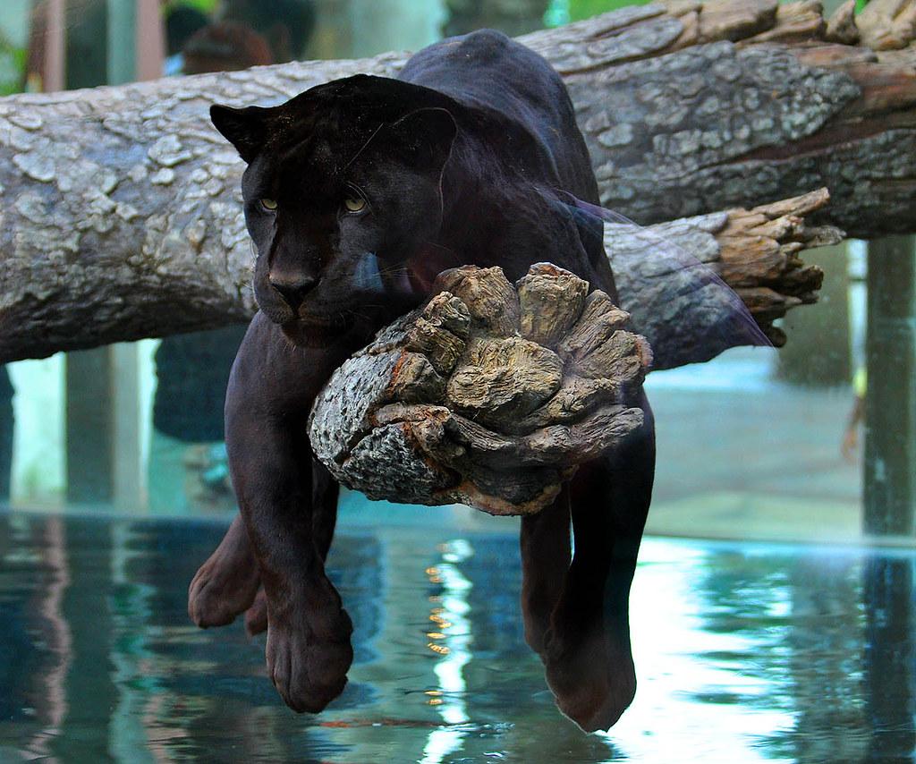 Смешная пантера картинки, фото
