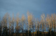 Backyard Birch Afternoon