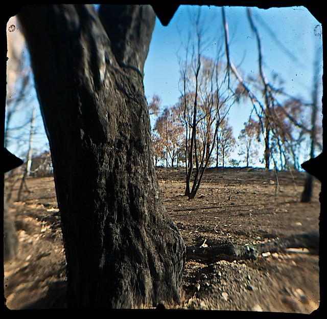 Bushfire-burnt Trees @ Hume Highway near Wallan (Vic) (TTV-090318-2268-H)