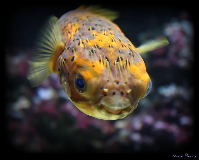 ~Balloon Fish~
