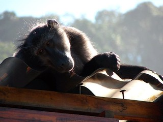 Monkey on a Roof, South Africa