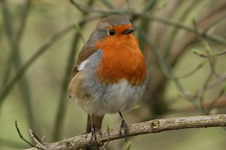Robin (Erithacus rubecula), Sudbury, Suffolk, England | by Deanster1983 who's on and off