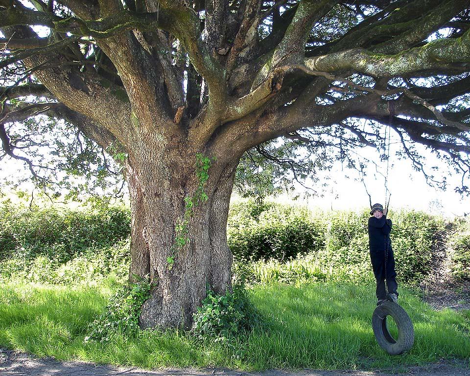 Big 'Ol Swingin' Tree