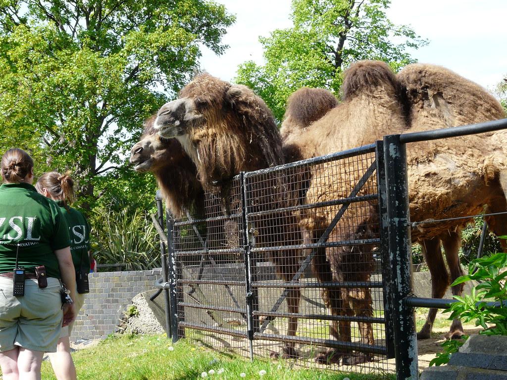 Bactrian Camels, ZSL London Zoo, Regents Park