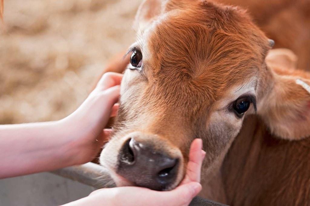 Cow Eyes   Daryl Hewison   Flickr