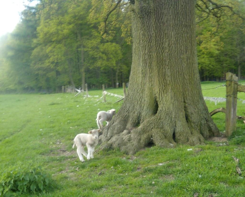 Lambs near a tree Tring to Berkhamsted