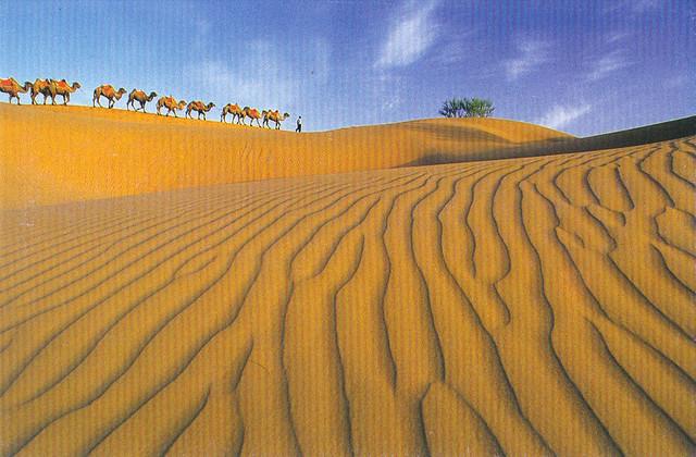 Fleet of Camels in the Desert Postcard
