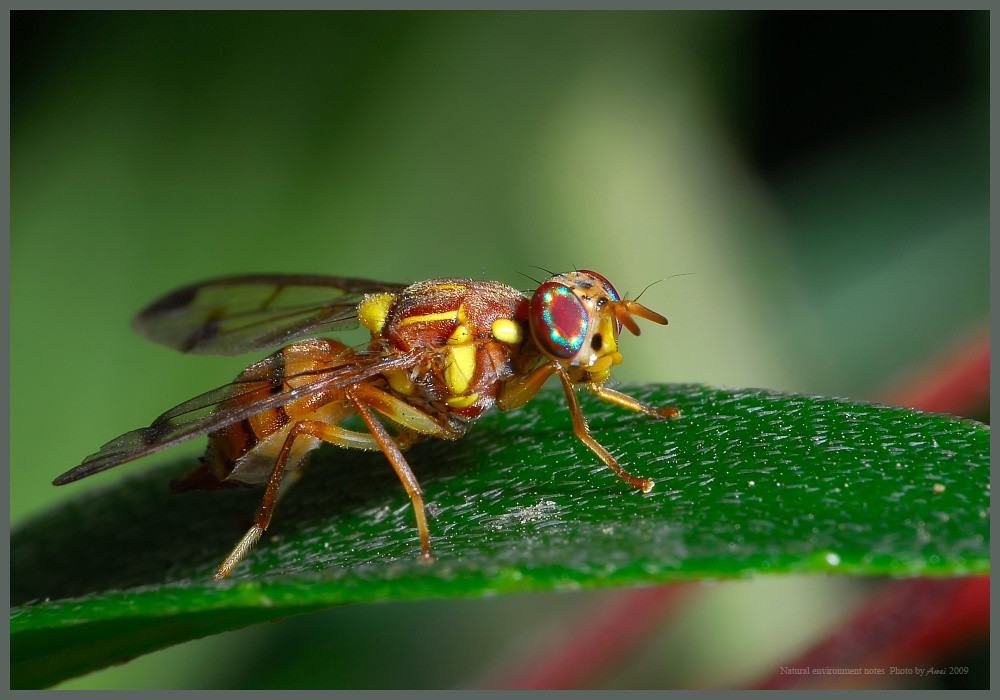 瓜實蠅Bactrocera cucurbitae | ...