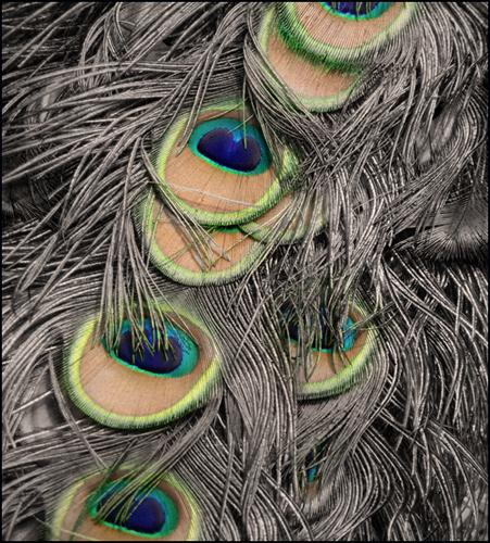 Peacock Textures