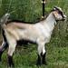Goat Test 2009
