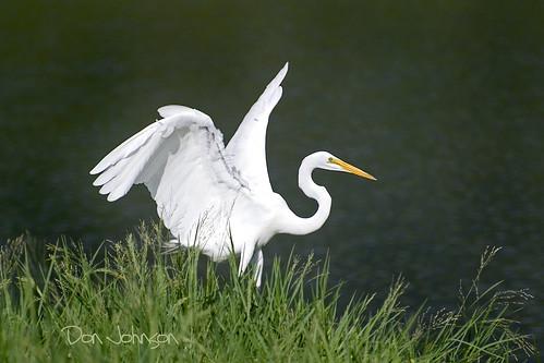 egret greategret