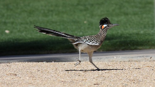 Greater Roadrunner (Geococcyx californianus) | by Dominic Sherony