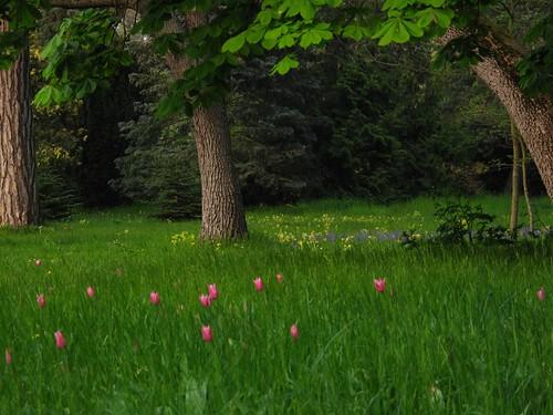 Bagatelle et ses tulipes