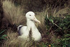 Southern Royal Albatross on the nest - Campbell Island 3 by markfountain52