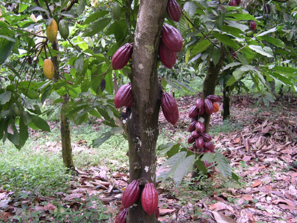 Red pods on cocoa trees