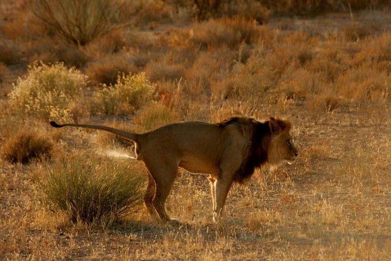 Lion marking territory!   Kgalagadi, near Twee Rivieren, Sou…   Flickr