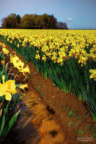 flowers geotagged washington daffodil hdr phototrip tulipfestival laconner janusz leszczynski 3741 colorphotoaward geo:lat=48426054 geo:lon=122400967