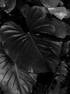 Leaf - Monteverde Cloud Forest
