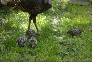 Baby Turkey and Mom | by Out at Bob's