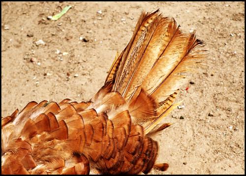 turkeys wonderful feathers