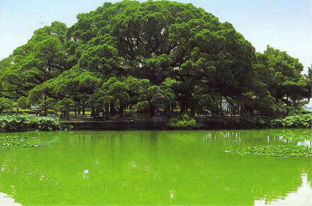 Ancient Banyan Tree Postcard