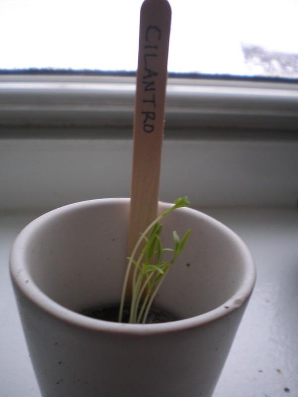 cilantro |Growing Food From Scraps | Kitchen Scraps You Can Regrow | indoor garden