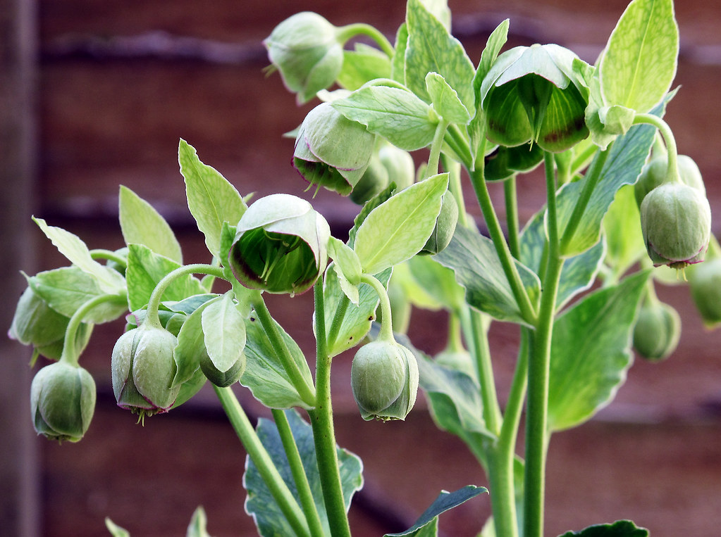 Stinking Hellebore Colin Howley Flickr