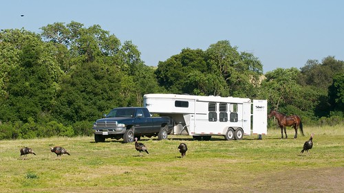 Turkeys and a Horse Trailer | by donjd2