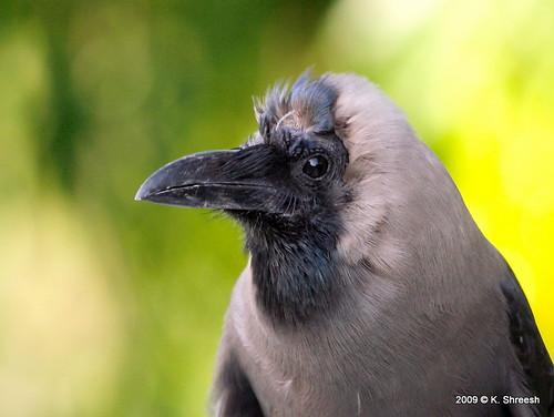 portrait india birds crow pune naturesfinest eos400d impressedbeauty ef70200f4lis citrit thechallengegame goldstaraward vosplusbellesphotos tadka09wk18