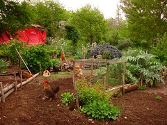 Chickens helping me tidy up the potager ready for planting | by hardworkinghippy : La Ferme de Sourrou