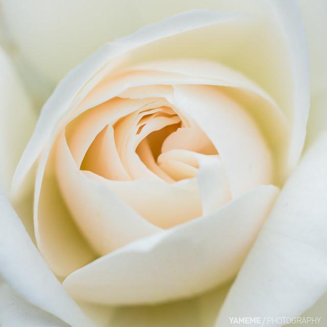 白玫瑰 Rose rose I love you! / Taipei, Taiwan