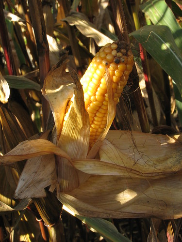 Corncob | by Lucas Theis