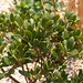Flickr photo 'Bearberry {Arctostaphylos uva-ursi}' by: Drew Avery.