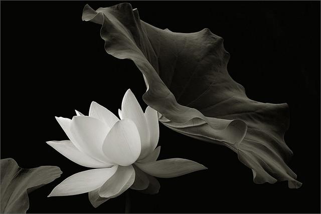 White Lotus Flower In Black And White Img6827 White Lot Flickr