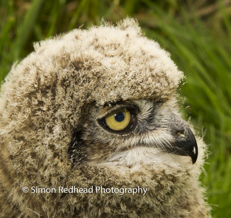 African Eagle Owlet
