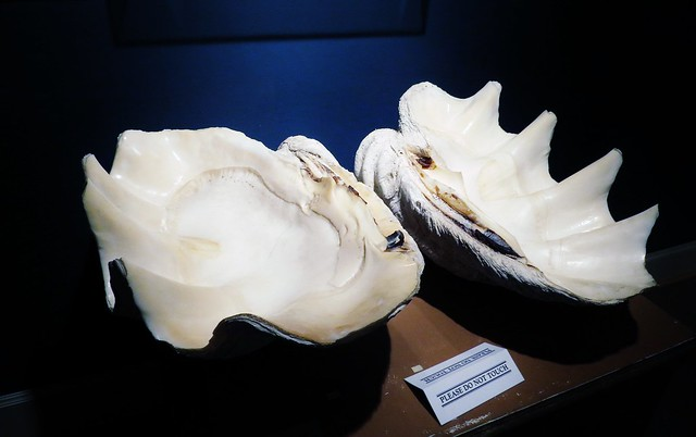Tridacna sp. --  Giant clam shells 0932
