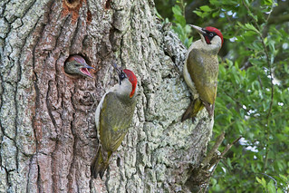 Green Woodpecker (Picus viridis) | by phil winter